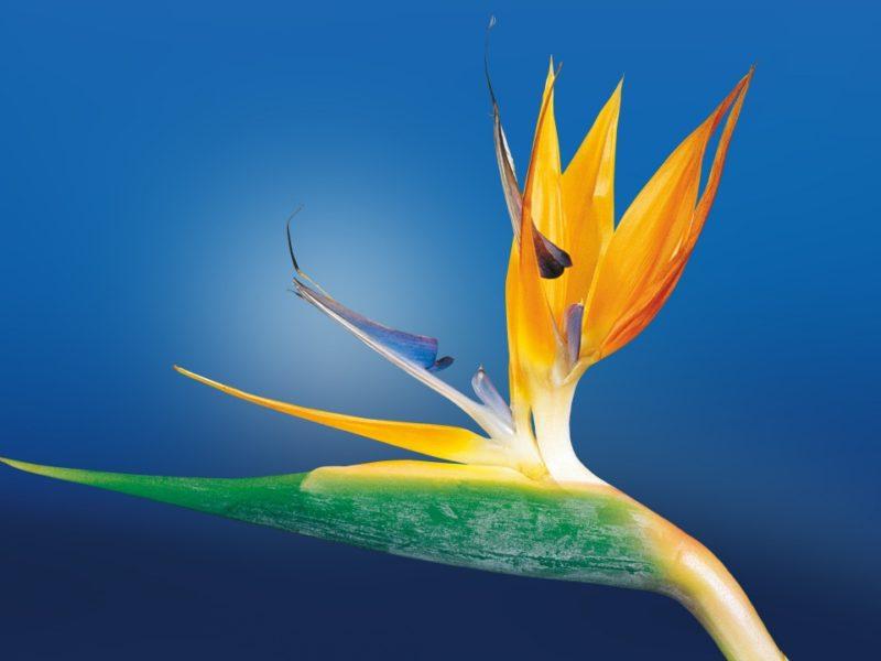 Bird Of Paradise Flower 1280×720