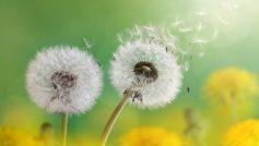 Dandelion Flowers 4k 1280×800