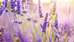 Lavender Flowers 1280×800