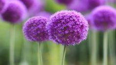 Purple Symphony 1280×800