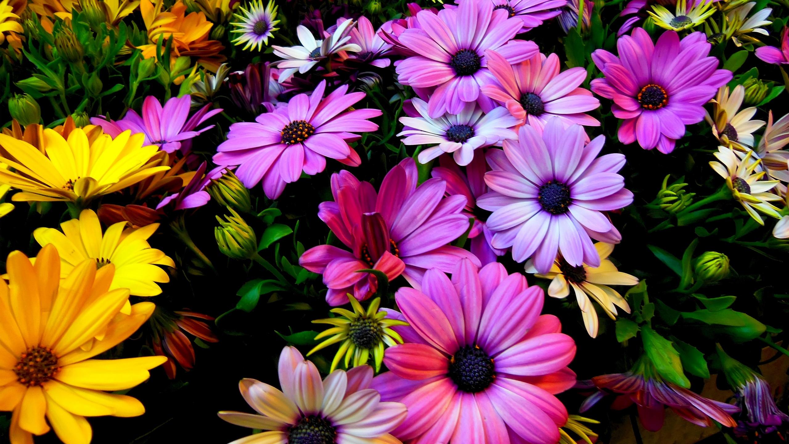 Purple Yellow Daisy Flowers 2560x1440 - High Definition ...