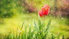 Red Tulip Rain 1280×800
