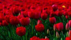 Rose Garden 1280×800