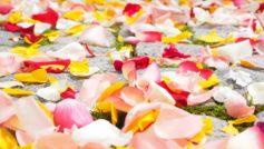 Rose Petals 1280×720