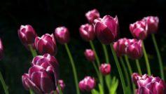 Spring Pink Tulips 1280×720