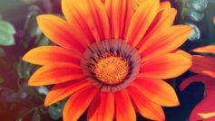 Spring Sunflower 1280×800