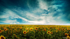Sunflowers Landscape Wide
