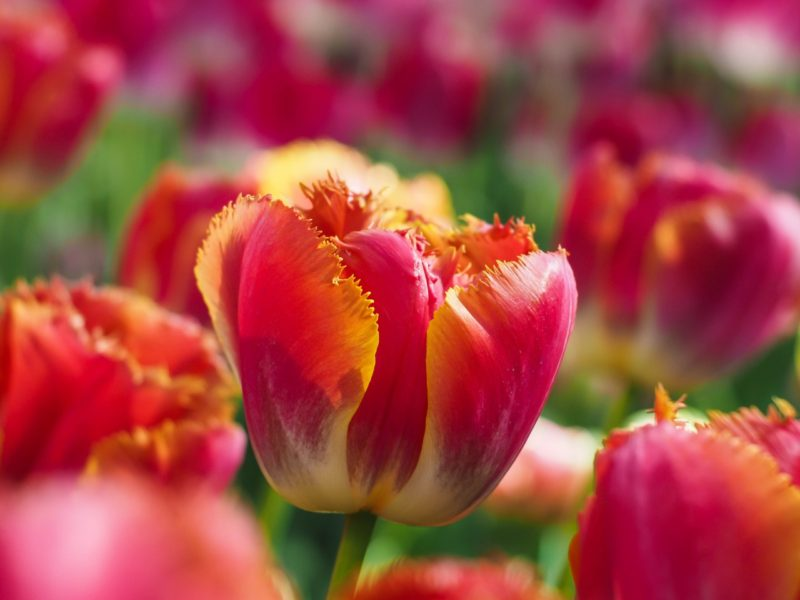 Tulip Flowers 5k 1280×960