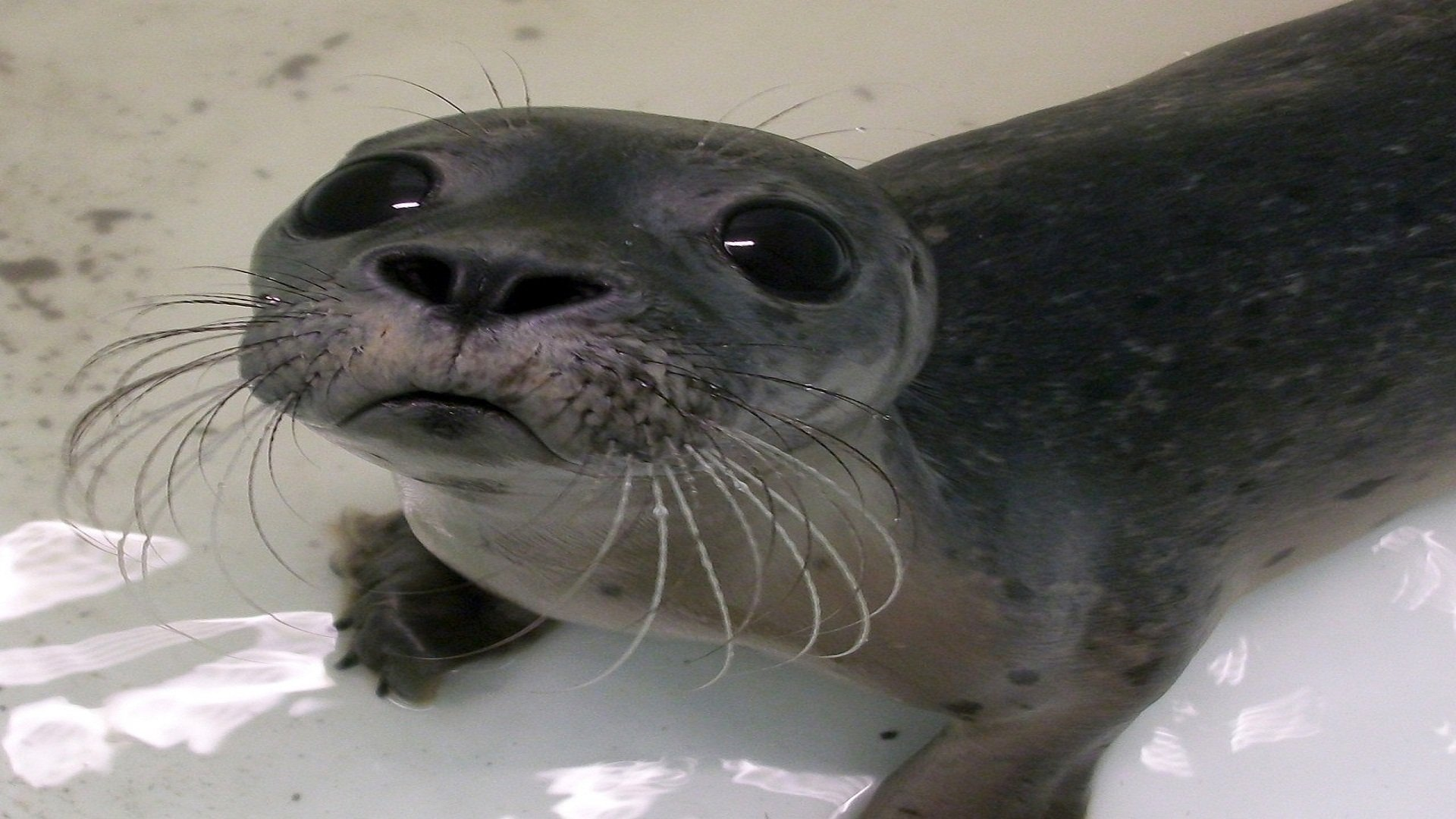 Baby Seal Selfie High Definition Wallpaper
