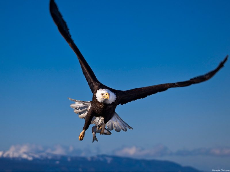 Bald Eagle High Definition Wallpaper