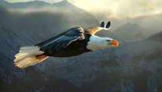 Bald Eagle Flying.