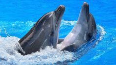 Beautiful Dolphins Playing