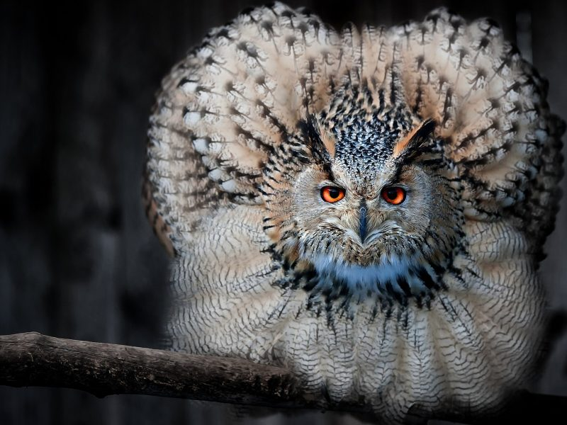 Beautiful Owl Look Like Peocock 2880x1800 High Definition Wallpaper