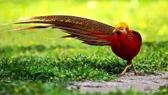 Beautiful Pheasant