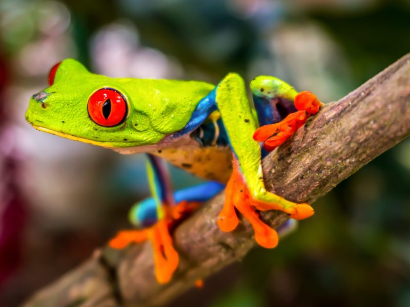 Beautiful Tree Frog