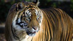 Bengal Tiger 4k 8k