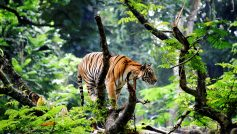 Bengal Tiger In Jungle