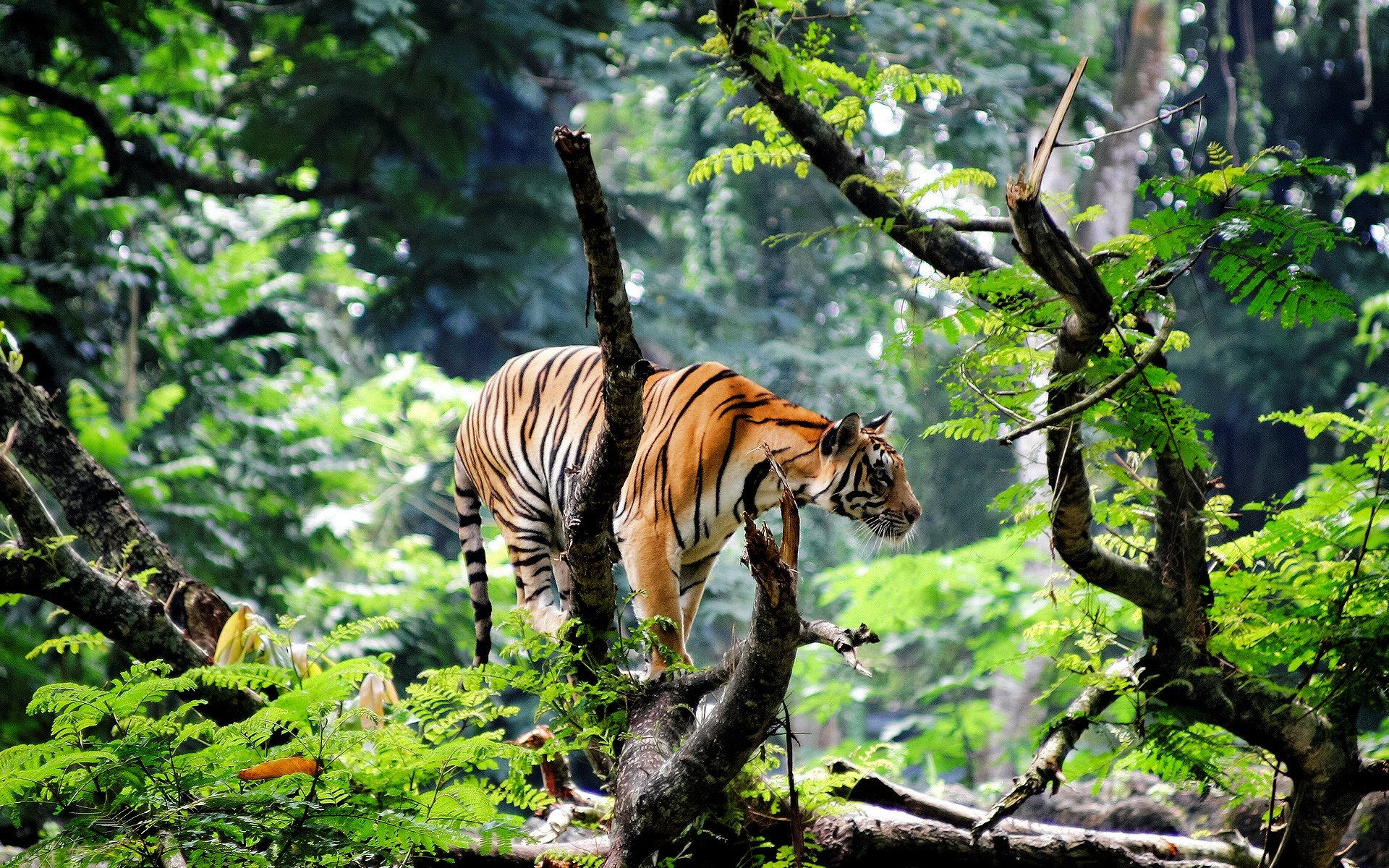 Bengal Tiger Wallpaper Widescreen Download